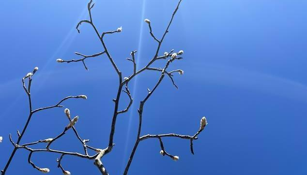 Budding branches in front of a light blue sky.