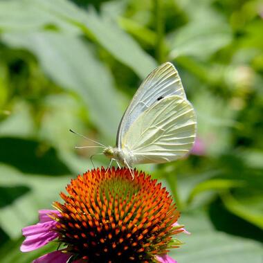Moth on flower.